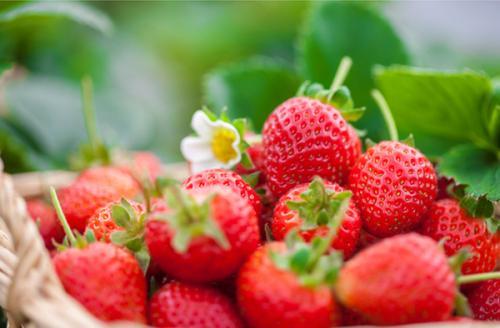 """冬日采摘草莓享受""""莓""""好时光"""