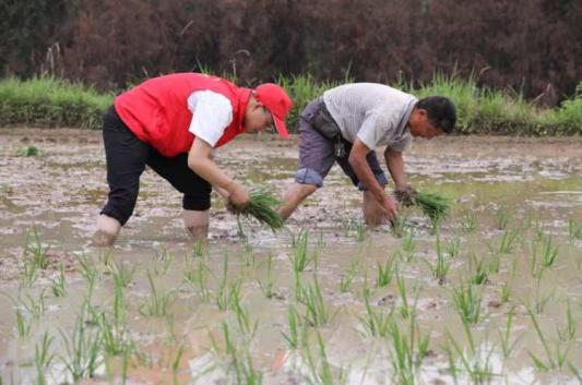 国网巴中供电公司支农志愿者帮贫困户插秧赶农时